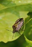 Erro peludo de Shieldbug ou de abrunheiro Foto de Stock