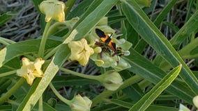 Erro preto e amarelo em Texas Flowering Bulb foto de stock royalty free