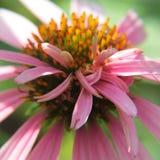 Erro roxo das naturezas da flor do cone Fotos de Stock