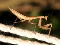 Errore di programma del Mantis Fotografie Stock Libere da Diritti