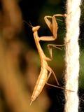 Errore di programma del Mantis Fotografie Stock
