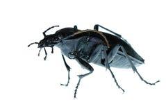 Errore di programma dello scarabeo a terra dell'insetto Immagini Stock