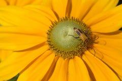 Insetto giallo in fiore giallo fotografia stock