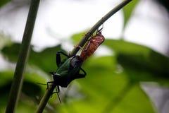 Erros de Sting que acoplam-se no selvagem após a chuva tropical imagem de stock