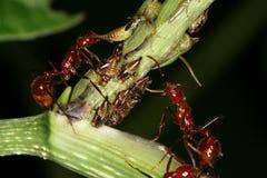Erros e formigas Fotografia de Stock Royalty Free