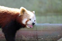 Erschöpfter Bär, der in der Sonne kühlt Lizenzfreies Stockfoto