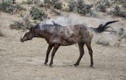 Erschütterung des Sand-Waschbeckens wildes Pferde Stockbilder