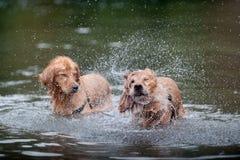 Erschütterungen des goldenen Apportierhunds im Wasser Lizenzfreies Stockbild