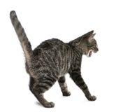 Erschrocken Misch-züchten Sie Katze, Felis catus Lizenzfreie Stockbilder