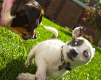 Erschrockene Chihuahua Stockfoto