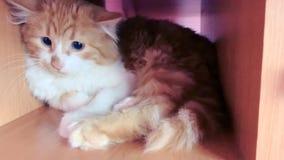 Erschrockene Katze mit enormen Augen stock footage