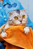 Erschrockene Katze nach Wäsche im Badezimmer lizenzfreie stockfotos