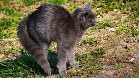 Erschrockene russische blaue Katze Lizenzfreie Stockfotos