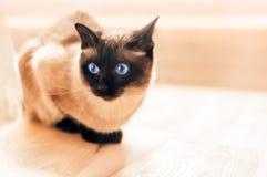 Erschrockene siamesische Katze entspannt sich