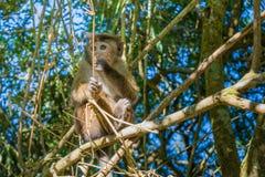 Erschrockener Affe, der auf dem Baum sitzt Stockbild