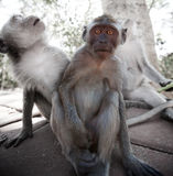 Erschrockener junger Affe - Krabbe-Essen des Makakens Stockfotografie