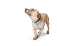 Erschrockener oben schauender und kauernder Hund Lizenzfreies Stockfoto