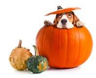 Erschrockener Spürhund im Kürbis lizenzfreie stockbilder