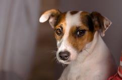 Erschrockener Weibchensteckfassungs-Russell-Terrier schaut mit Interesse Stockfotos