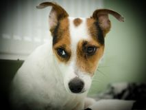 Erschrockener Weibchensteckfassungs-Russell-Terrier schaut mit Interesse Lizenzfreies Stockbild