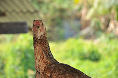 erschrockenes Huhn stockfoto