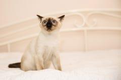 Erschrockenes Kätzchen, das auf der weißen Decke sitzt Lizenzfreie Stockbilder