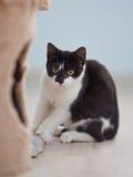 Erschrockenes Schwarzweiss-Kätzchen stockbilder