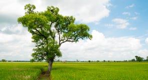 Erstaunlich und schön Der große Baum des Schattens, der auf dem Reisgebiet steht Lizenzfreies Stockbild