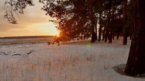 Erstaunliche Abendbewegungs-Winterlandschaft Wintersonnenuntergangwaldschneesonne des Weihnachtsbaums schöne ein greller Glanz stock footage