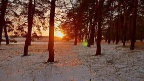 Erstaunliche Abendbewegungs-Winterlandschaft Winterwaldschneesonne des Weihnachtsbaums schöne ein Sonnenunterganggreller glanz stock video footage
