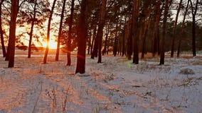 Erstaunliche Abendbewegungs-Winterlandschaft Winterwaldschneesonne des Weihnachtssonnenuntergangbaums schöne ein greller Glanz stock video footage