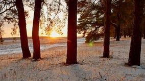 Erstaunliche Abendbewegungssonnenuntergang-Winterlandschaft Winterwaldschneesonne des Weihnachtsbaums schöne ein greller Glanz stock footage