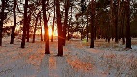 Erstaunliche Abendbewegungswinter-Sonnenunterganglandschaft Winterwaldschneesonne des Weihnachtsbaums schöne ein greller Glanz stock video footage
