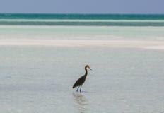 Erstaunliche Ansicht des einsamen Vogels gehend in den Ozean in Cayo-Cocoinsel, Kuba, am sonnigen Tag lizenzfreie stockfotografie