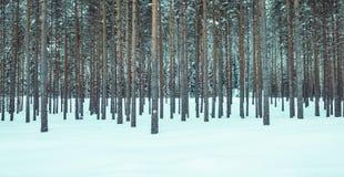 Erstaunliche Ansicht im Freien von Kiefern in Folge im perfekten Synchrony am Freien, während des Winters umfasst mit Schnee und  Lizenzfreie Stockfotografie