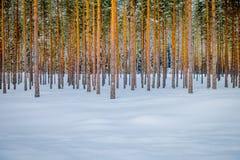 Erstaunliche Ansicht im Freien von Kiefern in Folge im perfekten Synchrony am Freien, während des Winters umfasst mit Schnee und  Lizenzfreie Stockfotos