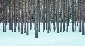 Erstaunliche Ansicht im Freien von Kiefern in Folge im perfekten Synchrony am Freien, während des Winters umfasst mit Schnee und  Stockbild
