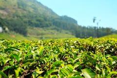 Erstaunliche Ansichten von Teeplantagen in Munnar Stockfotografie