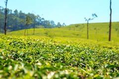 Erstaunliche Ansichten von Teeplantagen in Munnar Stockbilder