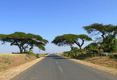 Erstaunliche Bäume entlang dem Straßenrand. Afrika, Äthiopien. Stockbilder
