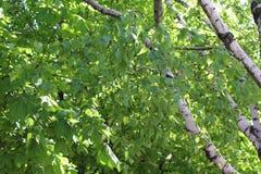 Erstaunliche Birken haben viele grünen Blätter und Stämme mit weißer Barke Stockfoto