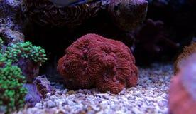 Erstaunliche bunte Lobophyllia-LANGSPIELPLATTEN korallenrot Stockfoto
