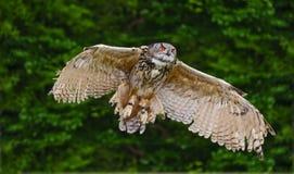 Erstaunliche europäische Adlereule im Flug Lizenzfreie Stockfotos