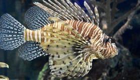 Erstaunliche gestreifte Firefish-Schwimmen im Ozean nahe Koralle Stockfotografie