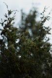 Erstaunliche grüne Niederlassungen des Waldes der Tanne im Frühjahr, Geist des Holzes Lizenzfreies Stockbild
