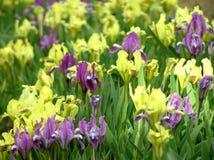 Erstaunliche Iris blüht Flieder und Gelb Stockfotos