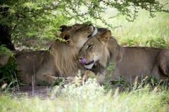 Erstaunliche Löwen, die in den Busch von Moremi-Reserve sitzen und streicheln Stockfotografie