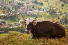 Erstaunliche Landschaft mit Kühen stockfotos