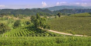 Erstaunliche Landschaftsansicht der Teeplantage Feld des grünen Grases gegen einen blauen Himmel mit wispy weißen Wolken lizenzfreie stockfotos