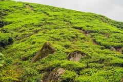 Erstaunliche Landschaftsansicht der Teeplantage im Sonnenuntergang, Sonnenaufgangzeit Lizenzfreie Stockfotos